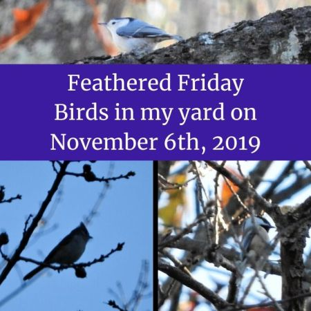 Feathered Friday - Birds in my yard on November 6th, 2019 blog thumbnail