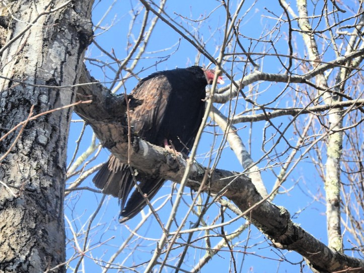 Feathered Friends Visit from some Turkey Vultures