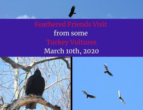 Feathered Friends Visit from some Turkey Vultures blog thumbnail
