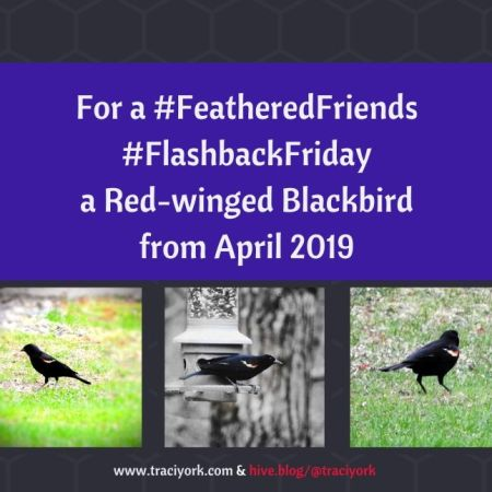 FeatheredFriends FlashbackFriday -Red-winged Blackbird from April 2019 blog thumbnail