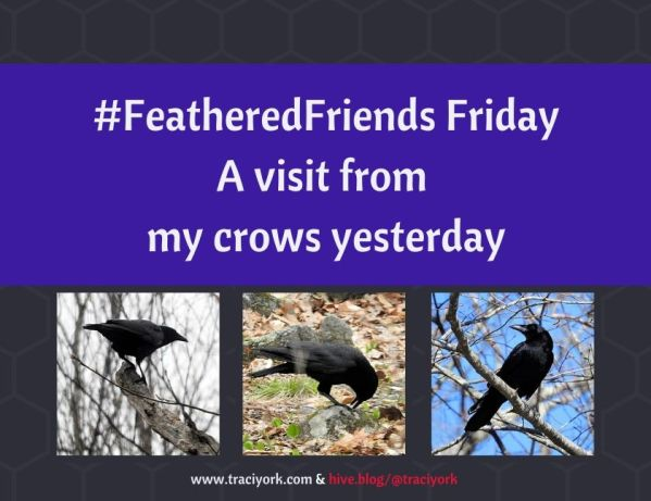 FeatheredFriends Friday - a visit from my crows yesterday blog thumbnail