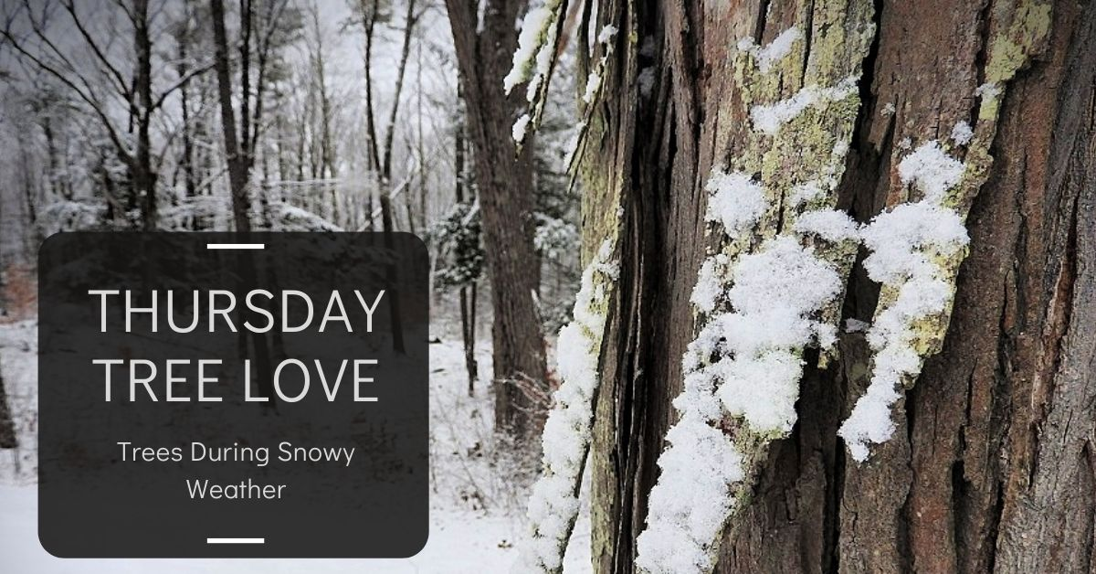 Trees During Snowy Weather for parul2411's ThursdayTreeLove blog thumbnail
