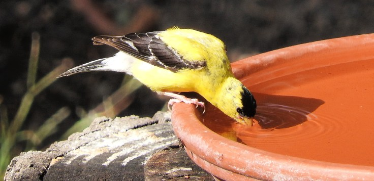 Throwback Thursday - Goldfinches over the years