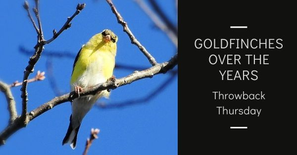 Throwback Thursday Goldfinches over the years blog thumbnail