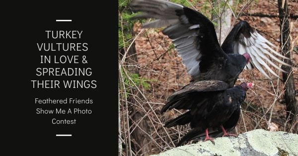 Turkey Vultures in love blog thumbnail