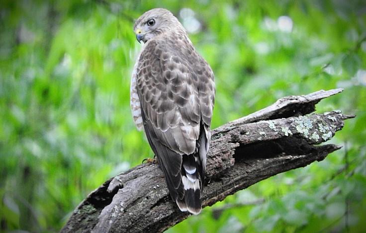 In memory of a tree branch Cooper's Hawk
