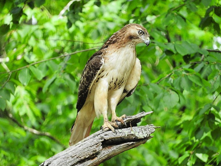 In memory of a tree branch Red-tailed Hawk