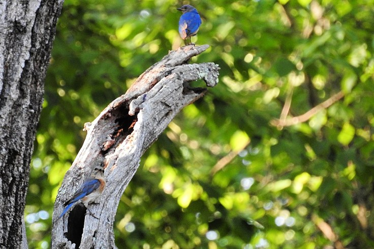 In memory of a tree branch Male and Female Bluebird