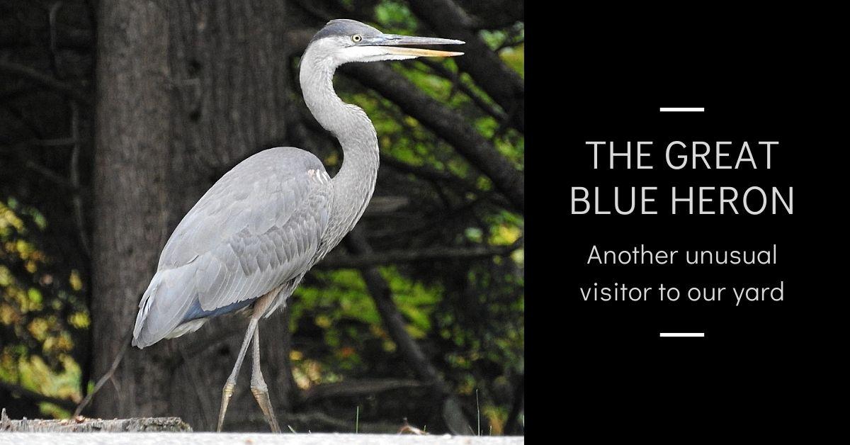 The Great Blue Heron blog thumbnail