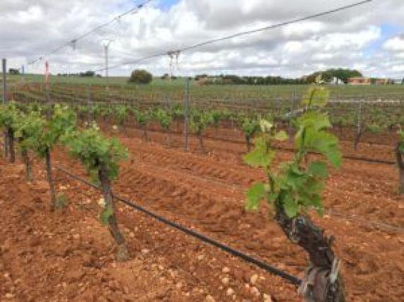 Superficie de viñedo donde se realizaban las demostraciones de la maquinaria.
