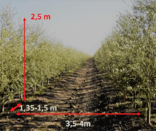 Marco de plantación y dimensiones del árbol para poder mecanizar la recolección de almendro en seto con vendimiadoras reconvertidas.