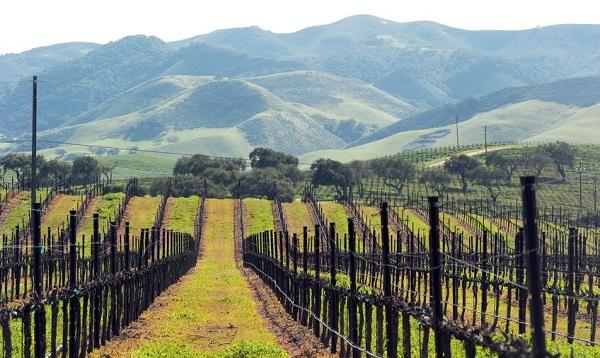 Plantación con viñas en espaldera