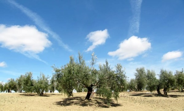 Olivar tradicional