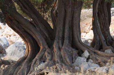 Old olive trees, olive grove Lun, Pag island, Dalmatia ...