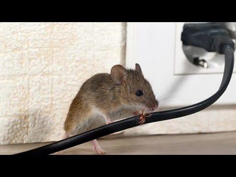 Invasão de ratos: roedores infestam cidades no leste da Austrália