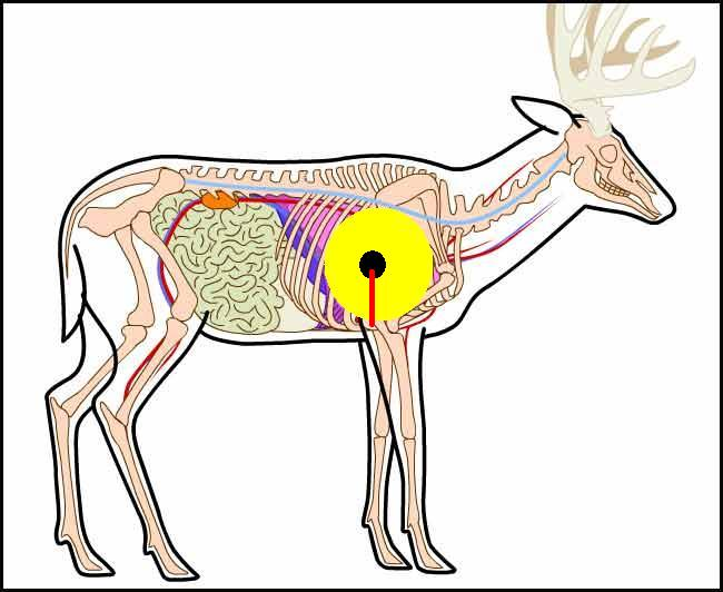 whitetail deer shot placement diagram and wiring elk vital organs great installation of anatomy bow www imgkid com cow vitals dimentions organ