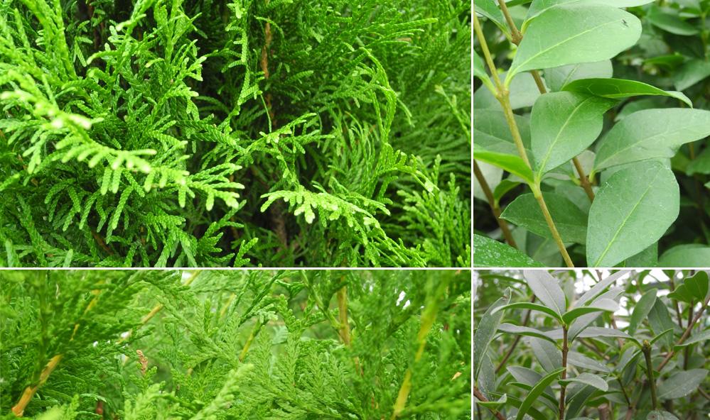 Häckplantor av tuja och liguster
