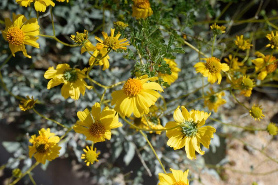 Brittlebush Wildflower