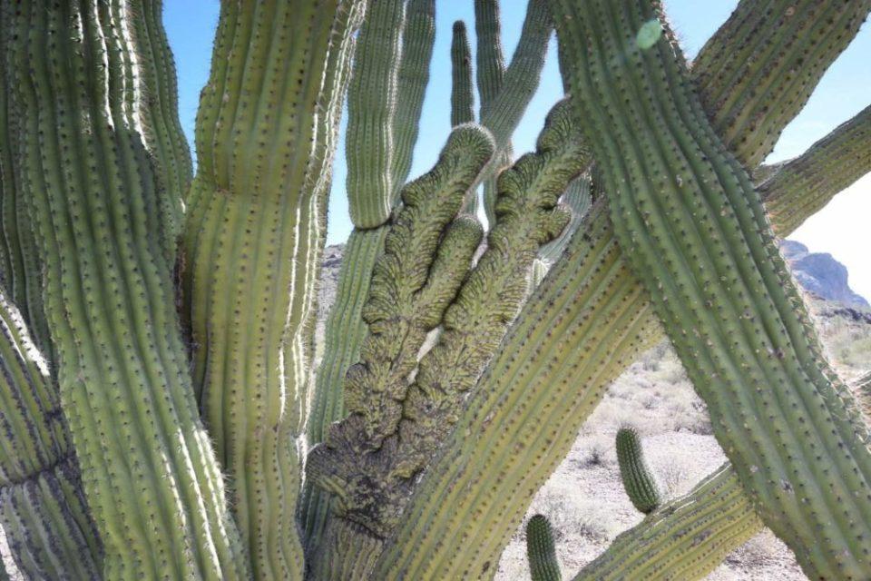 Crested Organ Pipe Cactus Arm