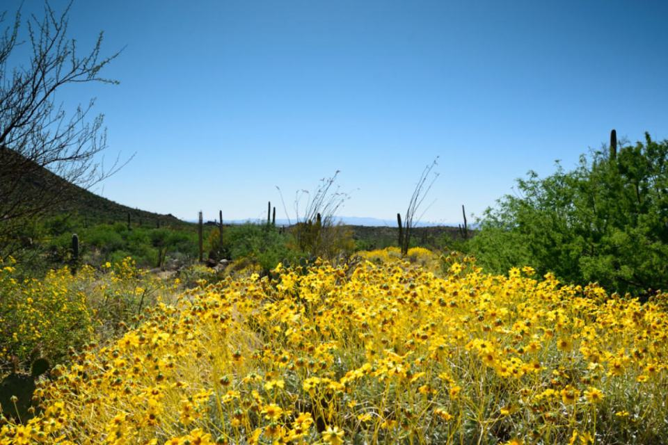 The Saguaro National Park is in bloom!