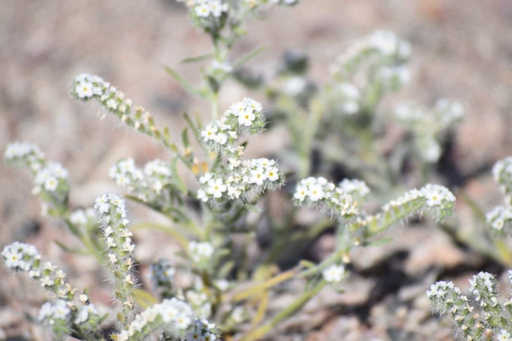 Scented Cryptantha