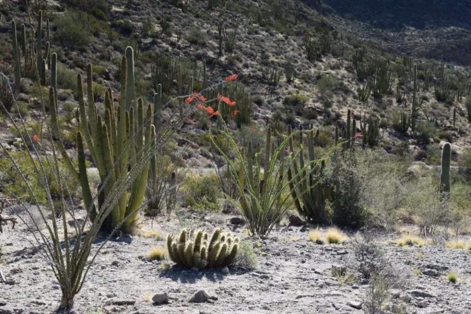 Ocotillo Plants