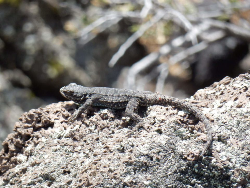 Frantic Lizard of the Lava Flow Fields