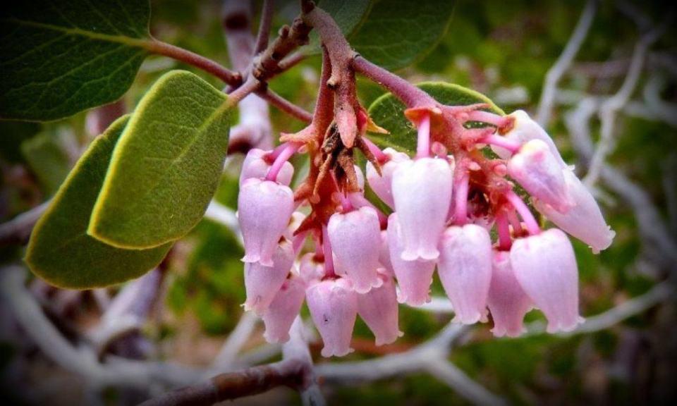 Pink Manzanita Flowers