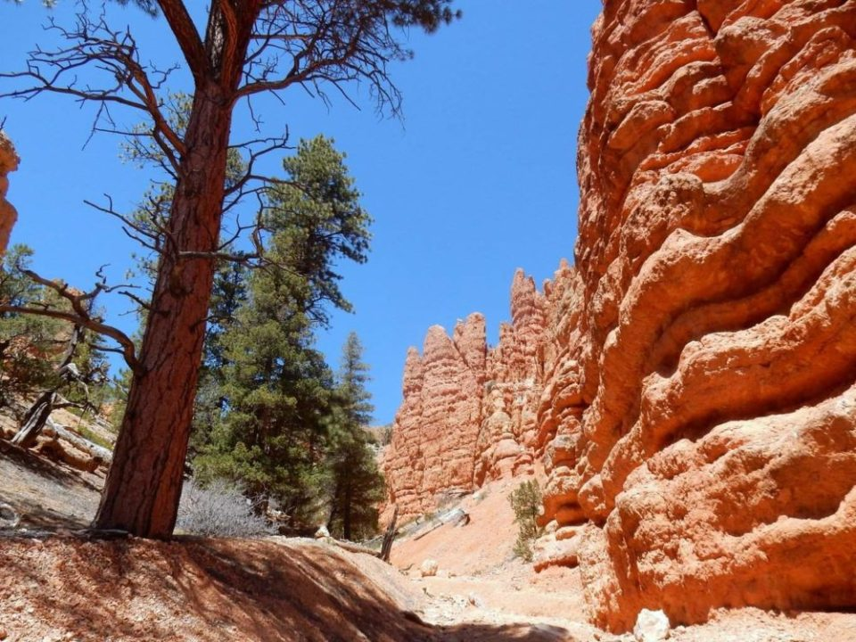 Pink Ledges and Ponderosa Pine