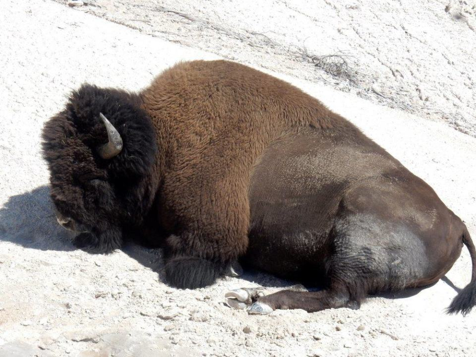 Resting Bison Near Grizzly Fumarole