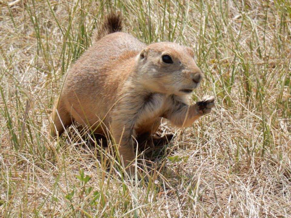 Prairie dogs fat