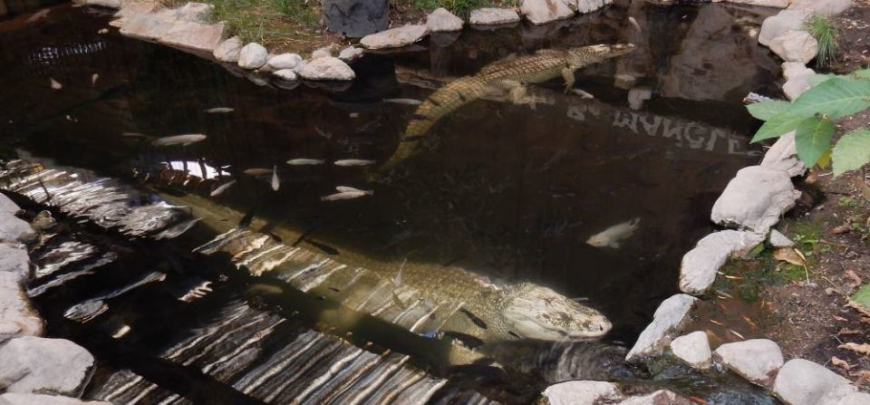 These are gorgeous in person but hard to get a good photo of. Note all the fish hanging out in the gator pool.