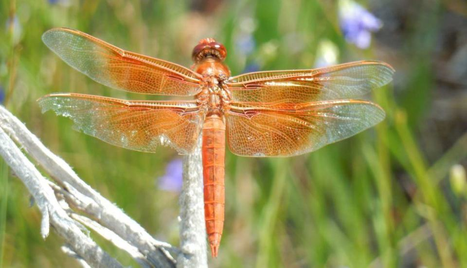 We see a ton of dragonflies. These ones were especially large and fun to photograph. Old nip-wing here was kind enough to sit still for me.