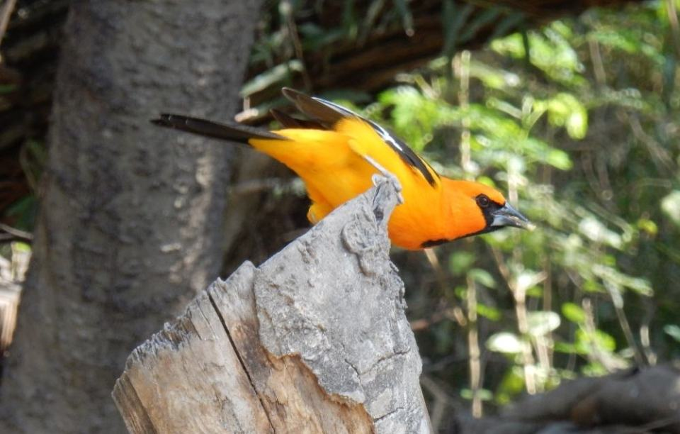 My theme for the year is not Altamira Oriole though considering how pretty they are, it might be a good one. It's great seeing really colorful birds down here in South East Texas.