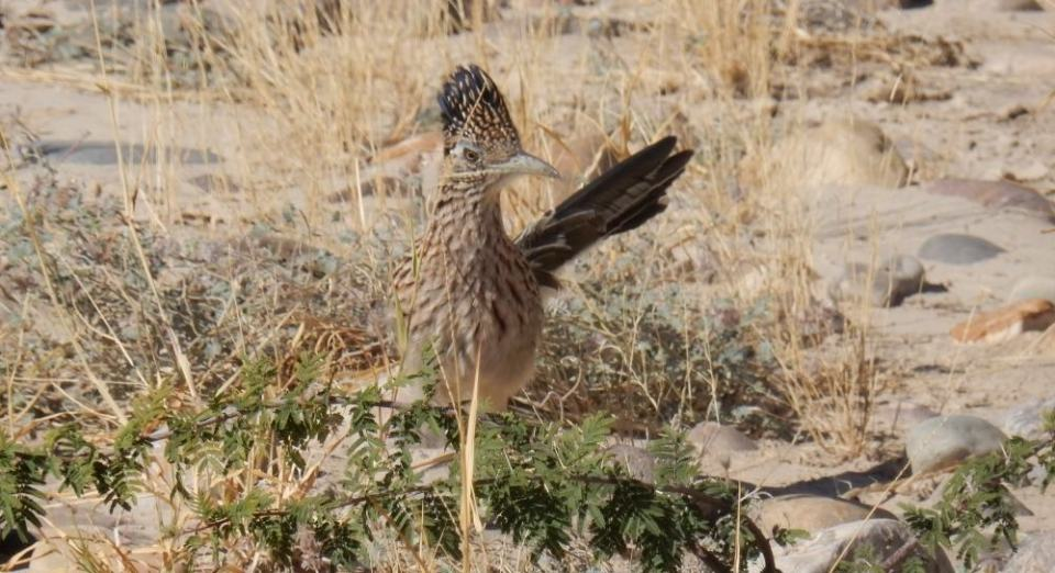 And here is a lovely road runner. We watched for about 20 minutes as it hunted amid the scrub.