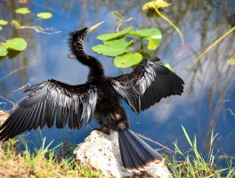 Anhinga - one of many found on Anhinga Trail in Everglades National Park