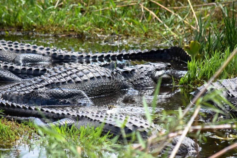 Lots of american alligators