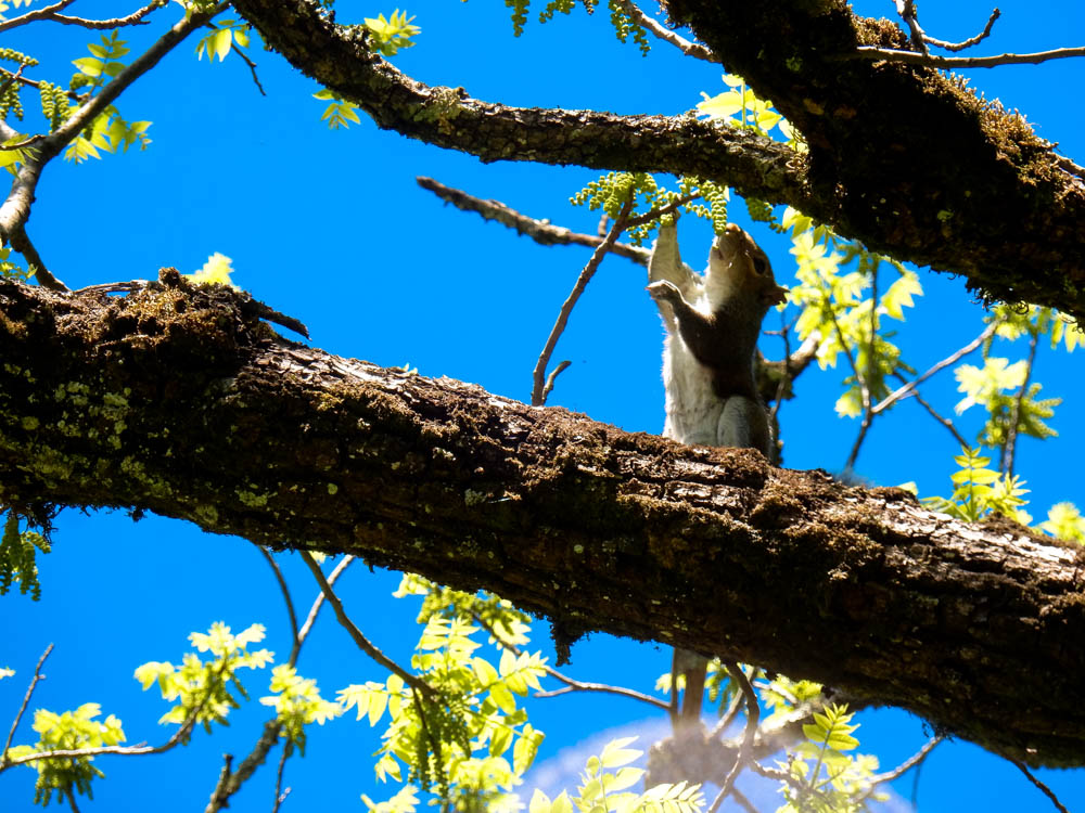 Squirrel nibbling on buds