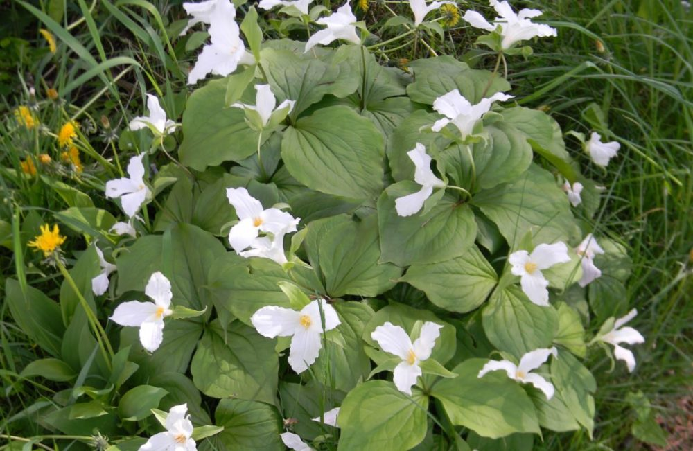 White Trilliums