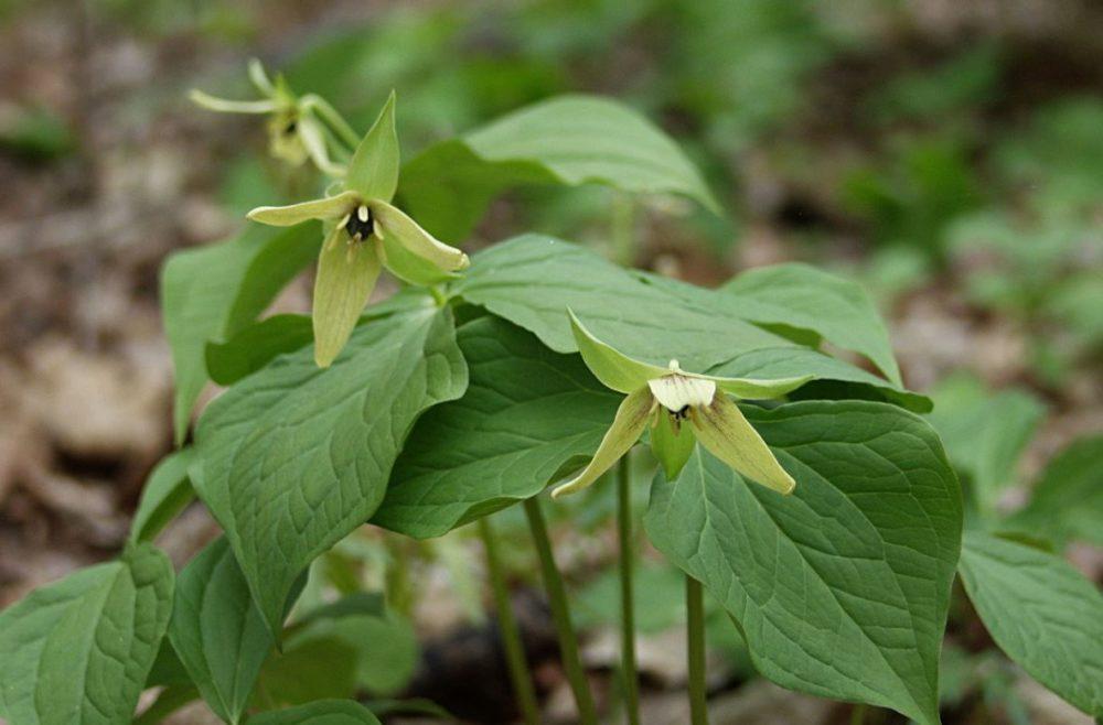 Yellow Trilliums
