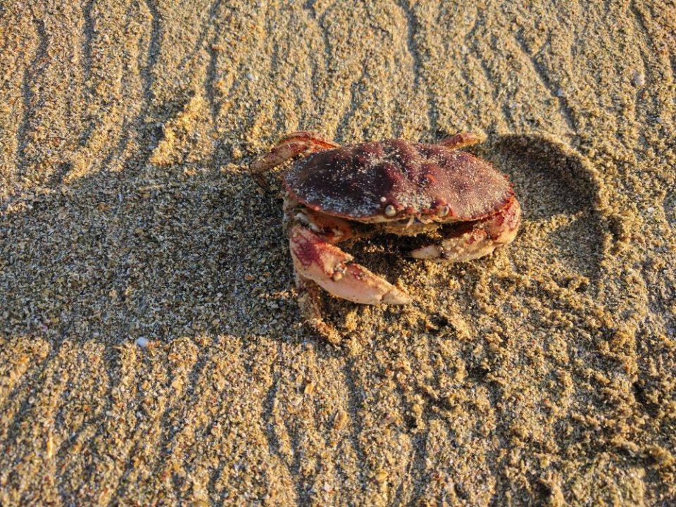 Sandy Beach Crab