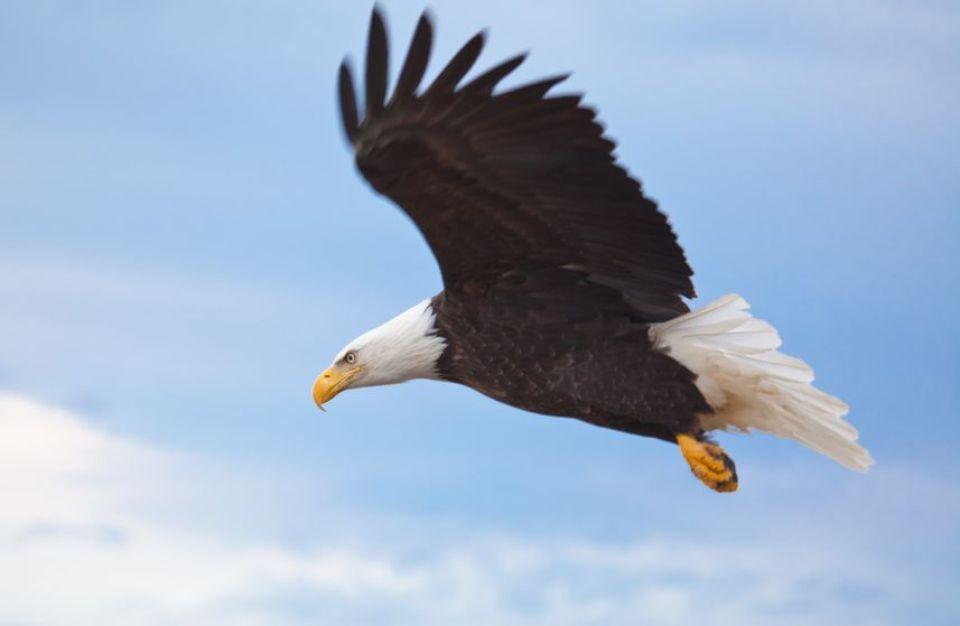 Bald Eagle flying over Maine coastline