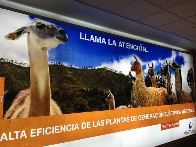 Llamas! Welcome to Peru!