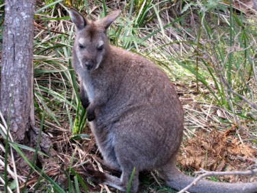 A Tasmanian Wallaby with a little joey!