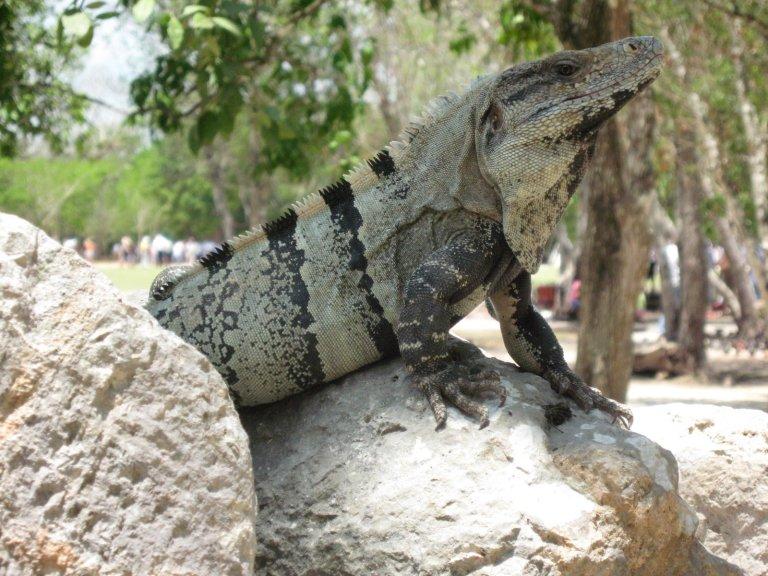 Iguanas everywhere!
