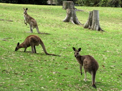 Free roaming kangaroos and wallabies