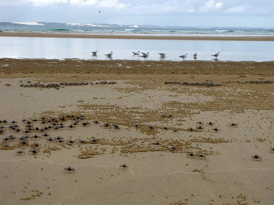 Soldier crabs on the beach