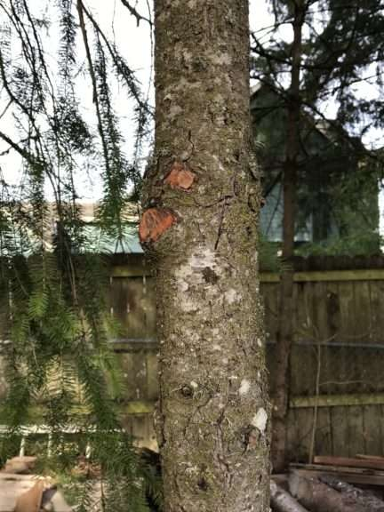 The trunk of a tree with bright patches where two branches have been freshly cut off.