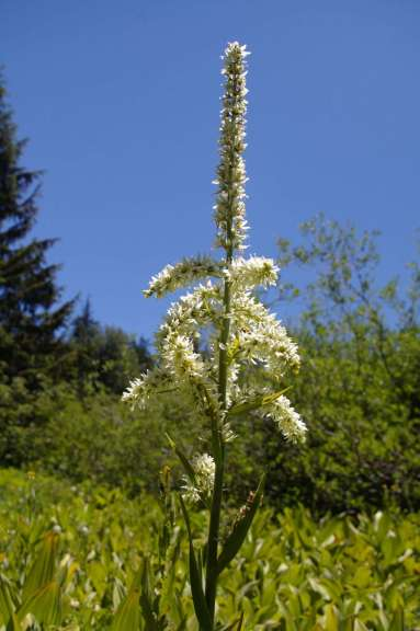 A tall-stemmed plant with dense clusters of flowers radiating out from the stem.