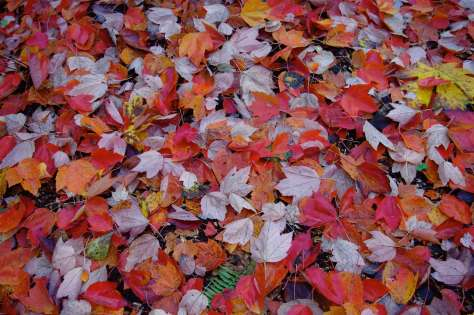 Red, orange, and light purple maples leaves on the ground.
